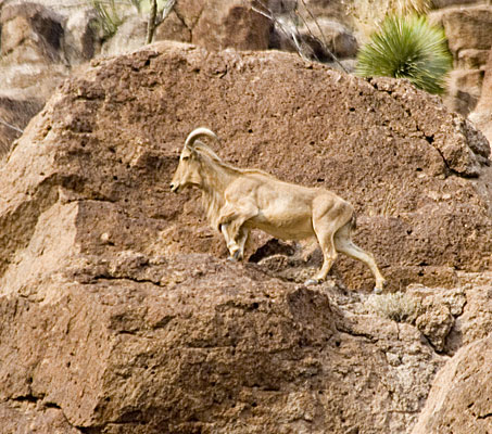 Mountain goat climbing rocks.